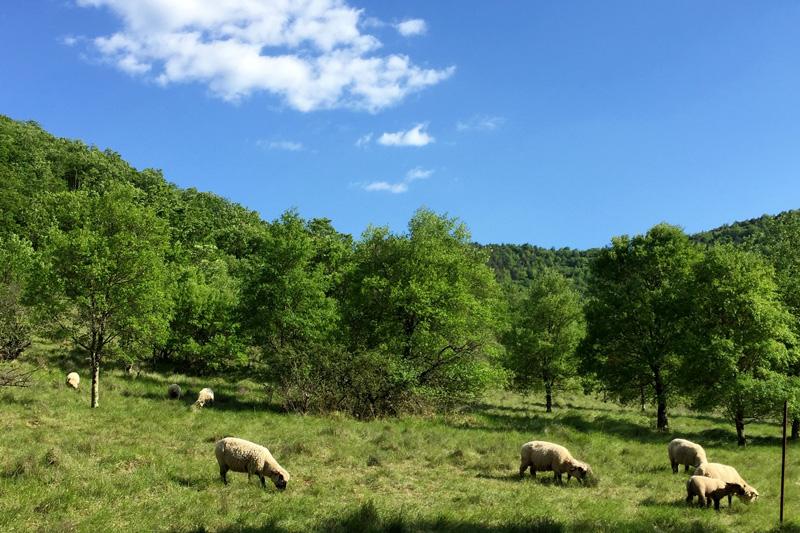 Nos moutons dans leur pâturage d'été