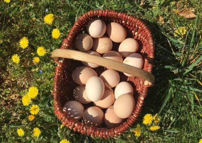 Les œufs du poulailler